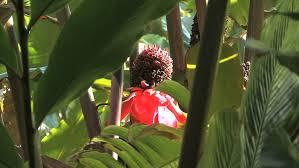 Red Ginger Flower - red ginger flower stock footage video shutterstock