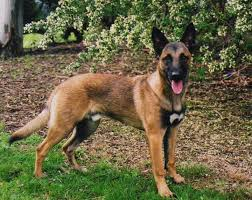 belgian shepherd louisiana dog breeds dog breeds
