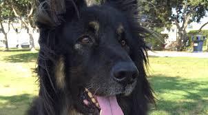 belgian sheepdog gif owners want answers after coronado cops kill dog fox5sandiego com