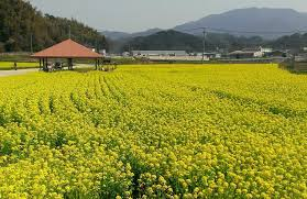 don u0027t forget your camera the canola flower fields of fukuoka