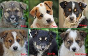 australian shepherd puppies for sale los angeles westside german shepherd rescue of los angeles