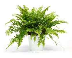 boston fern a bit fussy if you don u0027t get the humidity right