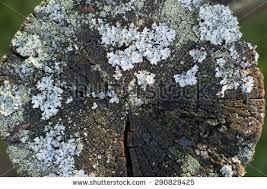 crust fungus stock images royalty free images vectors