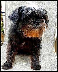 affenpinscher missouri tessie adoption pending adopted dog seymour mo affenpinscher