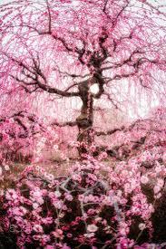 best 25 japanese plum ideas on japanese flowers