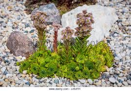succulent rock garden plant stock photos u0026 succulent rock garden