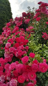 328 best climbing roses images on pinterest flowers gardens and