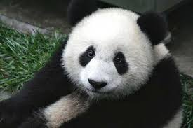 how did the panda get its name and where does the panda