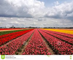 Netherlands Tulip Fields Famous Dutch Bulb Fields With Millions Of Tulips In Holland Stock