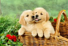 where can i buy a where can i buy golden retriever puppies assistedlivingcares