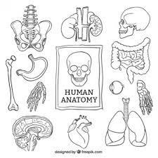 anatomy vectors photos psd files free download