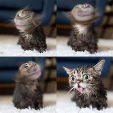 Lil Bub Meme - best 31 best lil bub images on pinterest testing testing