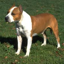american pitbull terrier akc dog breeds types of dogs american kennel club