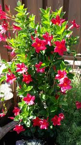 138 best mandevilla images on pinterest garden flowers and