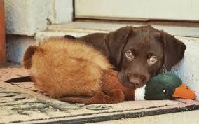 afghan hound and labrador retriever 22 photos of labrador retriever puppies to brighten your day