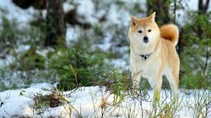 animals akita dog breed animal best images hd wallpapers