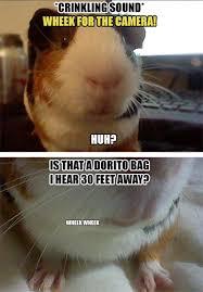 Shaved Guinea Pig Meme - guinea pig memes