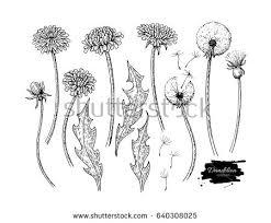 dandelion flower vector drawing set isolated stock vector