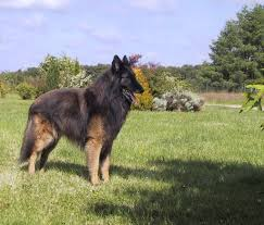 belgian sheepdog images all breeds of dogs that begin with the letter p pets