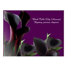 black calla calla flower postcards zazzle