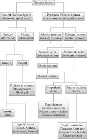Anatomy And Physiology Chemistry Quiz Nervous System Organization