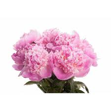 Peony Bouquet Pink Peony Bouquet Flower Muse
