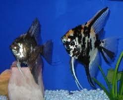 memelihara ikan manfish fish world