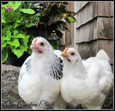 chickens in backyard the chicken legalizing backyard chickens from a former