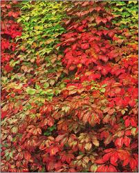 engelman u0027s ivy fall colour 15 m an excellent climbing vine that