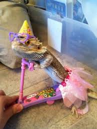 Bearded Dragon Halloween Costume 20 Types Bearded Dragons Colors Species