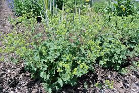 early june flowers in my garden the martha stewart blog