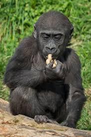 best 25 western lowland gorilla ideas on pinterest silverback