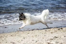 american eskimo dog small free images beach sea snow white puppy pet race