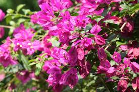 ornamental flowers la paz page 2