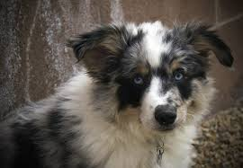 is an australian shepherd smart miniature australian shepherd