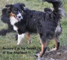 gewicht australian shepherd 7 monate because i u0027m top secret of blue angeldust u2013 blue angeldust