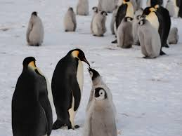 penguin leads ice researchers to huge colony wwno