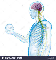 Nervous System Human Anatomy Person Holding A Skull Showing The Human Nervous System Computer