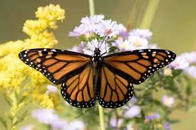 discover nature monarchs migrate kbia