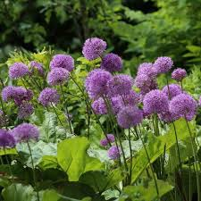 allium flowers allium planting guide easy to grow bulbs