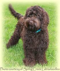 doodle doo labradoodles to remember a charmingly fluffy australian labradoodle i