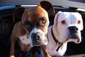 boxer dog origin boxer dog information center every boxer topic in the world