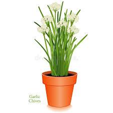 erba cipollina in vaso erba cipollina di aglio vaso di fiore dell argilla illustrazione