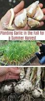 planting garlic in the fall for a summer harvest planting garlic