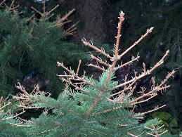 spruce trees losing needles sawfly emergency lawnsavers