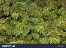 fir texture christmas tree stock photo 40442752 shutterstock