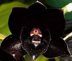 black orchid flower tips to grow black orchids orchid flowers