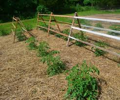 recycled pallets used for tomato trellis