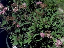 Pink Spring Flowering Shrubs - deciduous shrubs