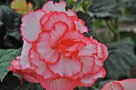 begonia flower flower photos beautiful begonias